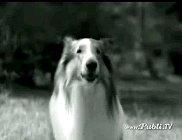 lassie101.jpg